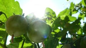 aussaatkalender-juni-tomaten